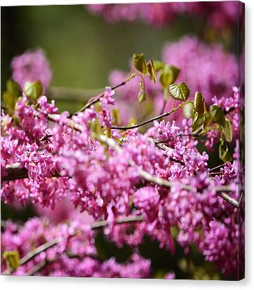 Blooming Redbud Tree Cercis Canadensis Canvas Print by Rebecca Sherman