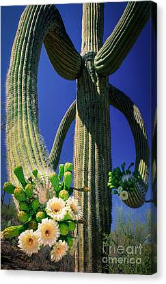 Blooming Saguaro Canvas Print by Inge Johnsson