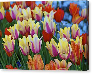 Canvas Print featuring the photograph Blooming Tulips by John Babis