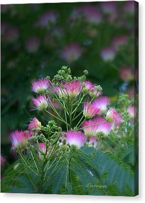 Blooms Of The Mimosa Tree Canvas Print by Jeanette C Landstrom