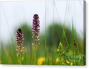 Canvas Print featuring the photograph Blossom Among Grass Straws by Kennerth and Birgitta Kullman
