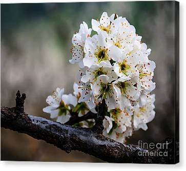 Blossom Gathering Canvas Print by Terry Garvin