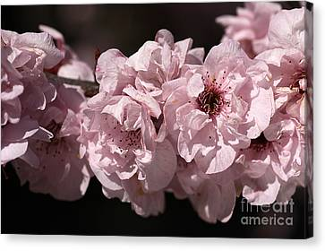 Blossom In Pink Canvas Print by Joy Watson