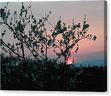 Blossom Sunset Canvas Print by Dorothy Berry-Lound