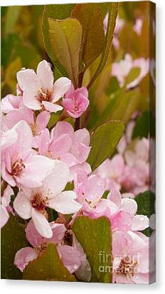 Blossoms Of The Rain Canvas Print by Rima Biswas