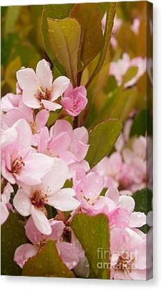 Blossoms Of The Rain Canvas Print