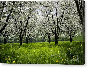 Blossoms Time Canvas Print by Bruno Santoro