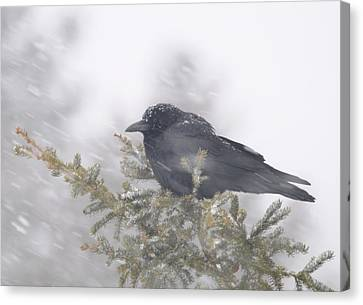 Blowin' In The Wind - Crow Canvas Print