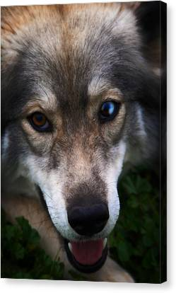 Blue And Brown Eyed Husky - Series II Canvas Print by Doc Braham