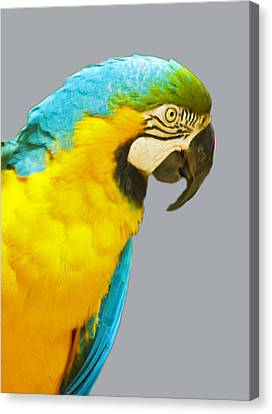 Blue And Gold Macaw Canvas Print by Bill Barber