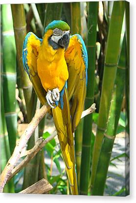 Blue And Gold Macaw Canvas Print by Phyllis Beiser
