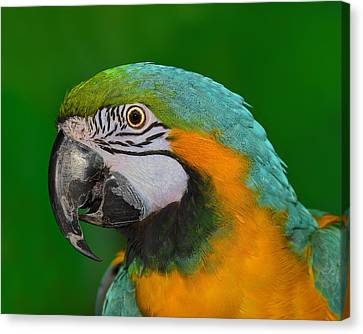 Blue And Gold Macaw Canvas Print - Blue And Gold Macaw by Tony Beck