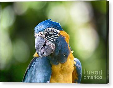 Blue And Gold Macaw V3 Canvas Print by Douglas Barnard