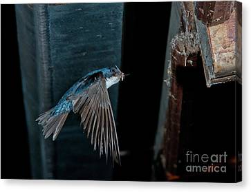 Blue And White Swallow Canvas Print by Anthony Mercieca