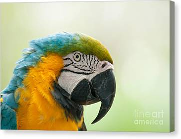 Blue And Gold Macaw Canvas Print - Blue-and-yellow Macaw by Mark Newman