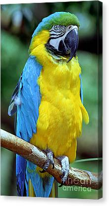 Blue And Gold Macaw Canvas Print - Blue And Yellow Macaw by Millard H. Sharp