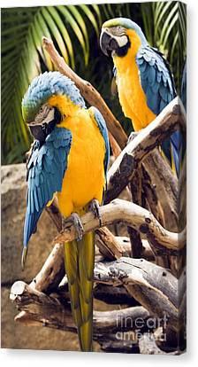 Blue And Yellow Macaw Pair Canvas Print by Darleen Stry