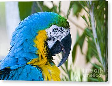 Blue And Gold Macaw Canvas Print - Blue And Yellow Macaw by William H. Mullins