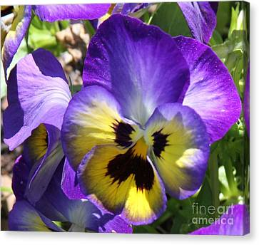 Blue And Yellow Pansies Canvas Print by Cathy Lindsey