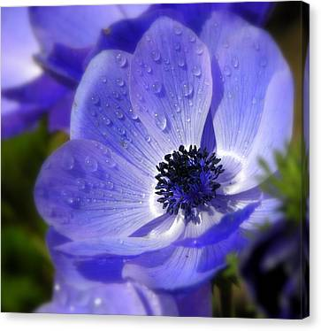 Blue Anemone Canvas Print