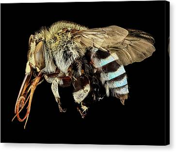 Blue Banded Bee Canvas Print by Us Geological Survey