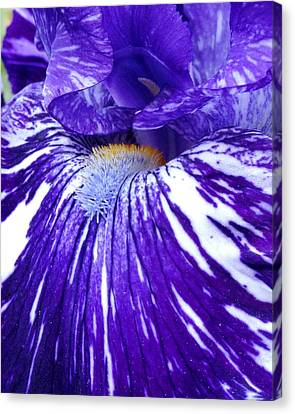 Blue Beard Iris Canvas Print by Mary Beth Landis