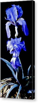 Blue Bearded Rhizomatous Irises Canvas Print by Danielle  Parent