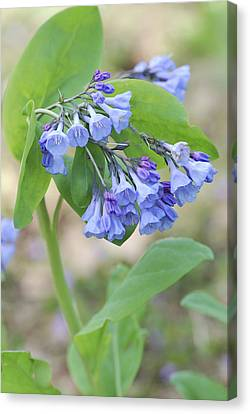 Blue Bells Of Lapsley's Run Canvas Print