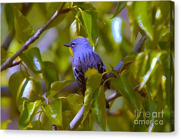 Blue Bird With A Yellow Throat Canvas Print by Jeff Swan