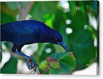 Blue-black Black Bird Canvas Print by Susan Molnar