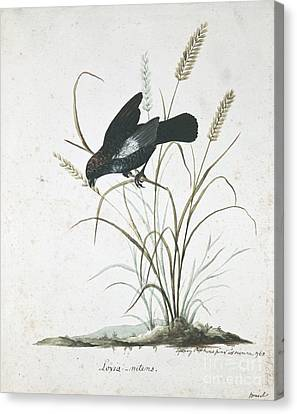 Blue-black Grassquit, 18th Century Canvas Print