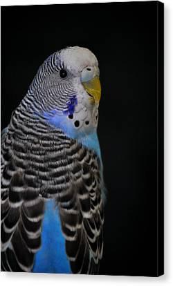 Blue Budgie Parakeet Canvas Print by Nathan Abbott
