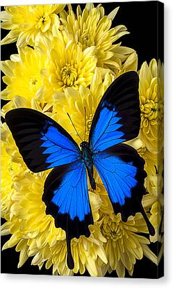 Blue Butterfly On Poms Canvas Print by Garry Gay
