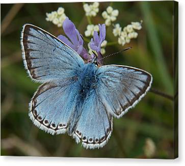 Canvas Print featuring the digital art Blue Butterfly by Ron Harpham