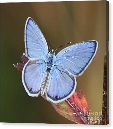 Blue Butterfly Square Canvas Print by Carol Groenen