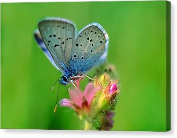 Blue Butterfly Canvas Print by Wernher Krutein