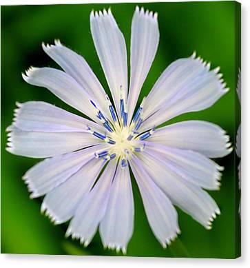 Blue Chicory Canvas Print by Candice Trimble