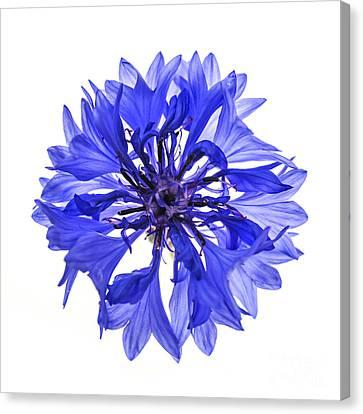 Blue Cornflower Flower Canvas Print