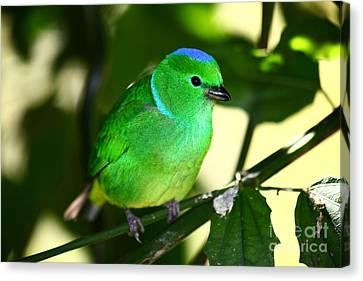 Blue Crowned Chlorophonia Canvas Print by James Brunker