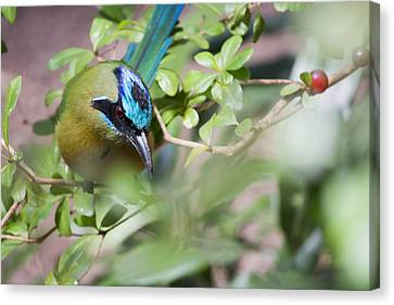 Canvas Print featuring the photograph Blue-crowned Motmot by Rebecca Sherman