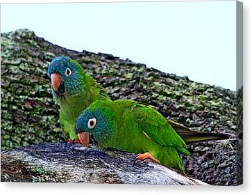 Blue-crowned Parakeet Pair Canvas Print by Ira Runyan