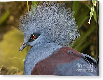 Blue-crowned Pigeon Canvas Print by David Millenheft