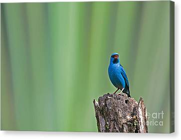 Blue Dacnis Canvas Print