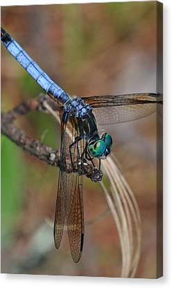 Blue Dasher 2 Canvas Print by J Scott Davidson