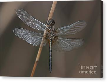 Blue Dasher Dragonfly Canvas Print by Clarence Holmes