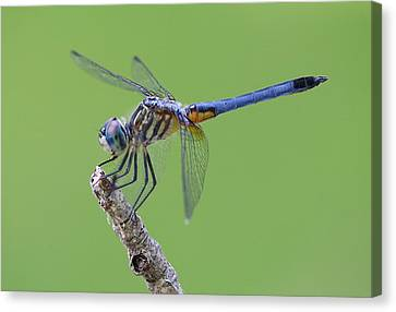 Blue Dasher Dragonfly Canvas Print by Ester  Rogers