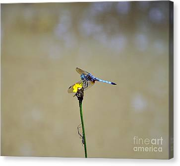 Blue Dasher Male Canvas Print