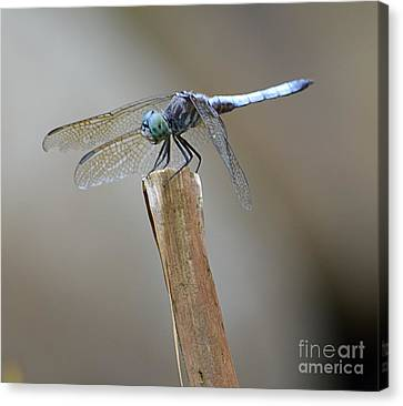 Canvas Print featuring the photograph Blue Dasher by Randy Bodkins