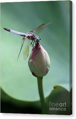 Dragon Fly Canvas Print - Blue Dragonflies Love Lotus Buds by Sabrina L Ryan