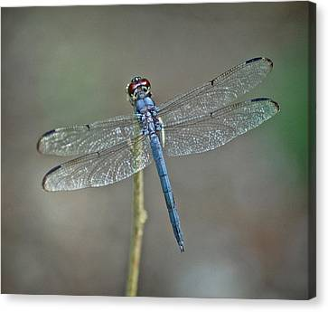 Canvas Print featuring the photograph Blue Dragonfly II by Linda Brown